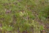 IMG_2469 Yellow Bartsia on ground turned over during fence erection