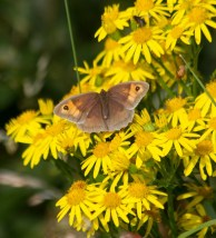 IMG_2643 Male Meadow Brown on Ragwort