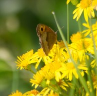 IMG_2644 Female Meadow Brown on Ragwort