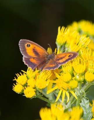 IMG_2645 Male Gatekeeper on Ragwort
