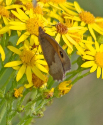 IMG_2669 Male Meadow Brown on Ragwort