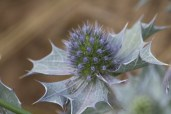 IMG_2698 Sea Holly