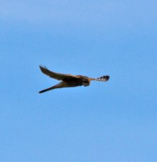 IMG_2753 Kestrel out huntingjpg