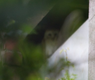 IMG_2769 Young Barn Owl in tower at Gillies 28th July 2016 - Copy