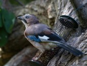 IMG_2887 Young Jay at Gillies woods