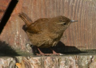 IMG_2920 Young Wren of 2016 edited