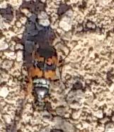 Sexton Beetle