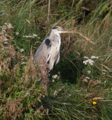 img_3304-heron-on-island