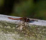 img_3311-common-darter