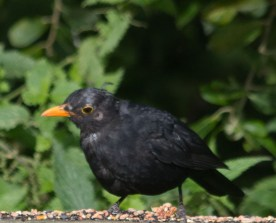 img_3314-end-of-season-male-blackbird