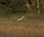 img_3353-large-white-egret-on-long-pond-ready-to-strike
