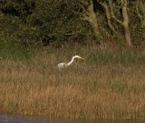 img_3353-large-white-egret-on-long-pond-ready-to-strike