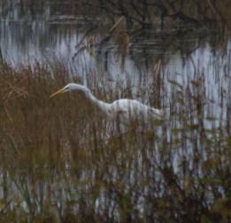 img_3421large-white-egret