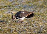 img_3469-lapwing-spots-a-worm