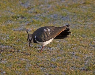 img_3471-lapwing-catches-the-worm
