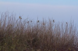 img_3496-flock-of-gold-and-greenfinches