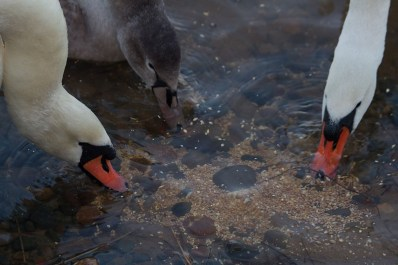 img_3518-feeding-swans