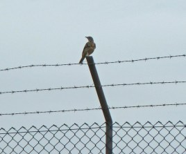 p1020046-mistle-thrush-on-airfield-fence