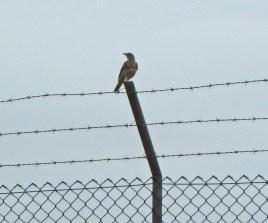 p1020046-mistle-thrush-on-airfield-fence