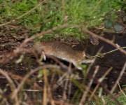 IMG_3824 Rat crossing path - Copy