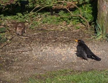IMG_3841 Blackbird and Rat - Copy