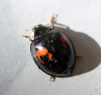 IMG_3871 Harlequin ladybird variety conspicua
