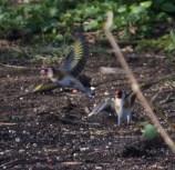 IMG_3930 Squabbling Goldfinch