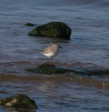 IMG_3933 Grey Plover