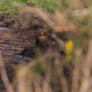 IMG_3954 Mating Male Blackbird - Copy