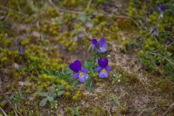 IMG_4008 Wild Pansy - Copy
