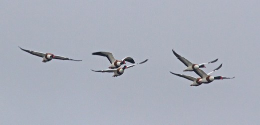IMG_4012 Five Shelduck - Copy
