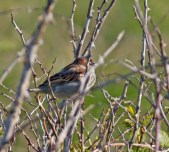 IMG_4186 Male House Sparrow - Copy