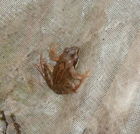 P1020162 Young Frog