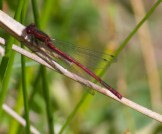 IMG_4479 Large Red Damselfly - Copy