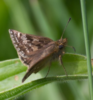 IMG_4486 Dingy Skipper butterfly - Copy