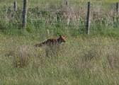 IMG_4526 Fox spots its quarry - Copy