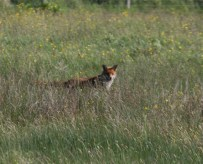 IMG_4531 Spotted by Fox - Copy