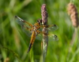 IMG_4756 Four Spot Chaser - Copy