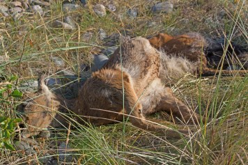 IMG_4770 Dead young Roe deer West side - Copy