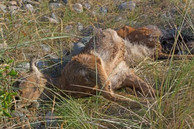 IMG_4770 Dead young Roe deer West side - Copy