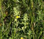 IMG_4803 Yellow Bartsia - Copy