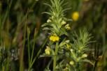 IMG_4804 Yellow Bartsia - Copy