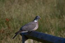 IMG_4812 Woodpigeon on fence - Copy