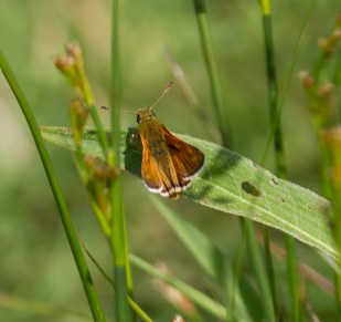 IMG_4825 Large Skipper - Copy