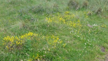 Lady's Bedstraw (3)