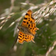 IMG_5065Comma Gillies 17th July 2017 - Copy
