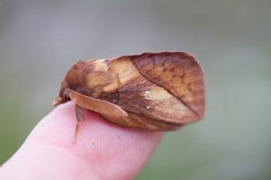 IMG_5161 Drinker N E Moth hunt 24th July 2017 - Copy