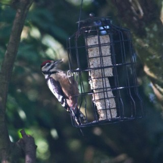 IMG_5244 Woodpecker on feeder