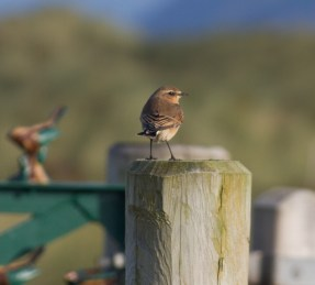 IMG_5497 Wheatear on post - Copy