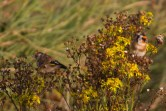 IMG_5512 Goldfinch on Ragwort - Copy
